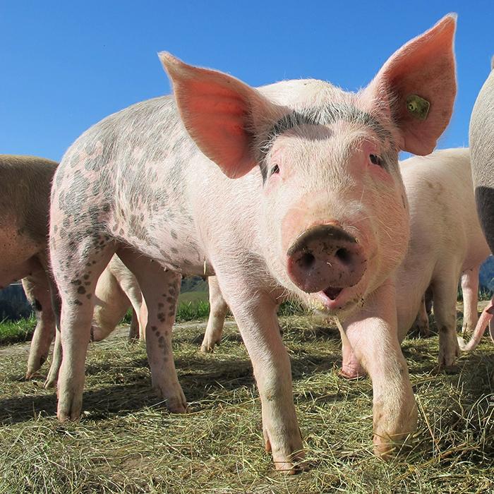 Ilustracja do informacji: Informacja Powiatowego Lekarza Weterynarii w Żarach z siedzibą w Lubsku o zmienianie rozporządzenia w sprawie środków podejmowanych w związku z wystąpieniem afrykańskiego pomoru świń